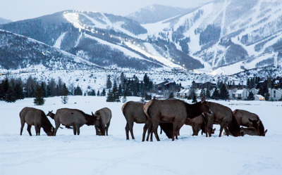 Elk Herd in Snow